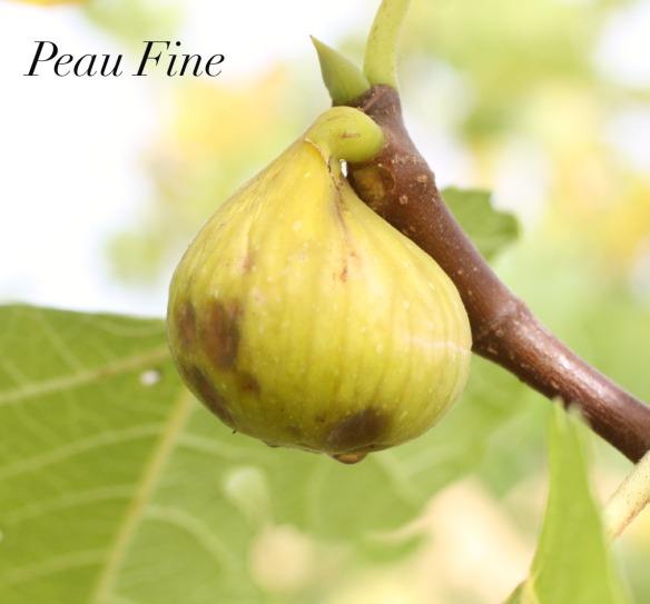 Peau Fine 7